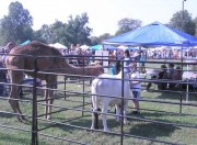 Fall Festival Petting Zoo